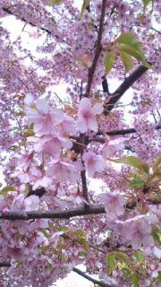 YUI Diary (2012.04.02) — Cherry Blossom Viewing ♪ 2012.04.02-YUI-Diary